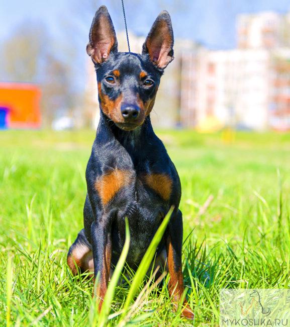 Собака Пинчер играется в траве