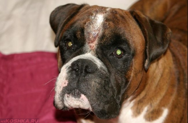 Пиодерма у собаки между глаз