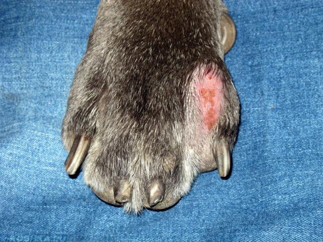 Пододерматит на лапе у собаки на синем фоне