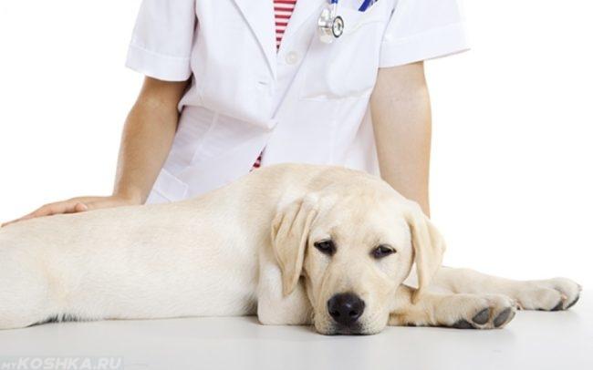 Собака на столе и ветеринар