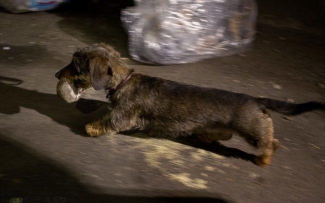 Собака поймавшая грызуна