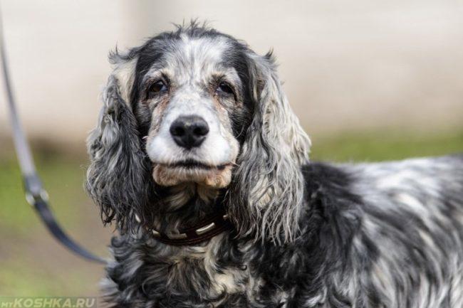 Пожилая собака на поводке
