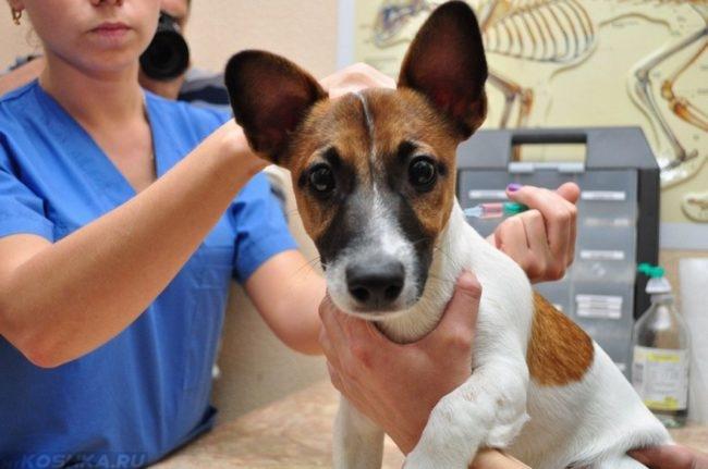 Шприц в руке ветеринара и собака
