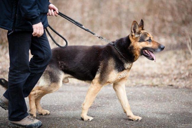 Собака на прогулке с хозяином