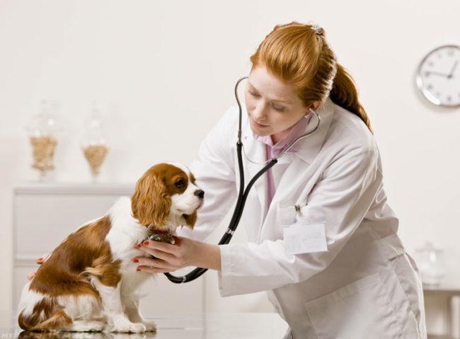 Прослушивание сердца у собаки