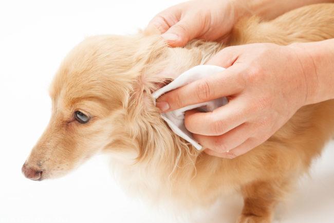 Протирание уха у собаки белой салфеткой