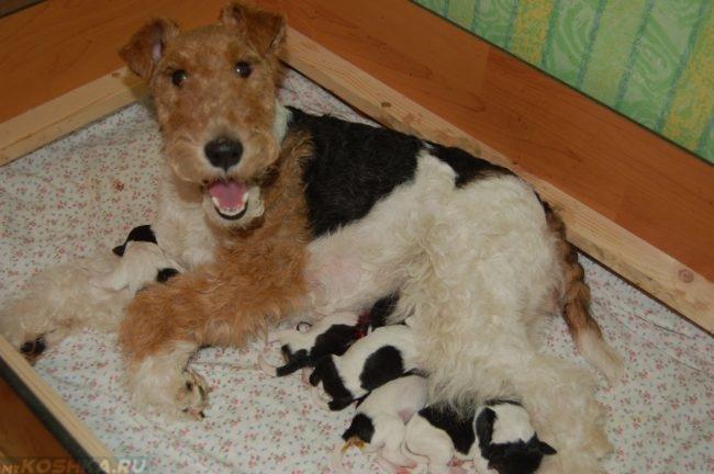 Собака родившая щенков на простыне