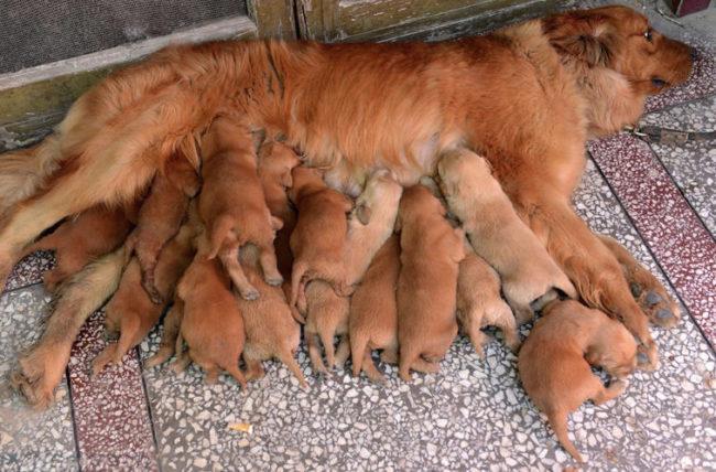 Кормящая собака и щенки