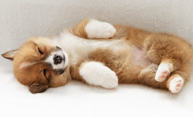 Спящий на спине пушистый щенок