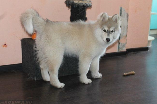 Шесть месяцев собаке светлого окраса