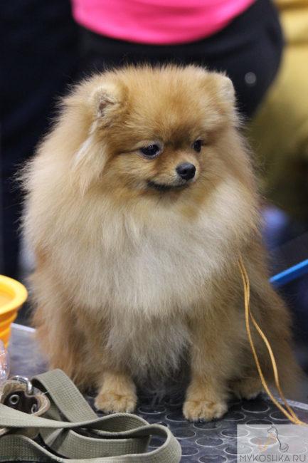 Собака породы шпиц на выставке