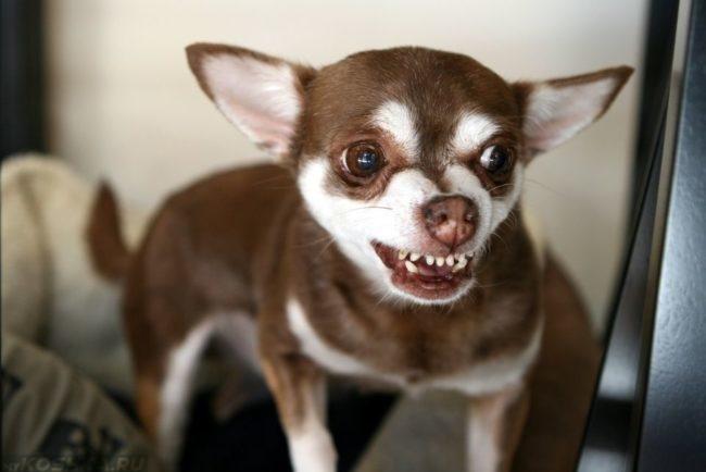 Маленькая собака коричневого окраса