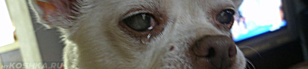 Слезится глаз у маленькой собачки