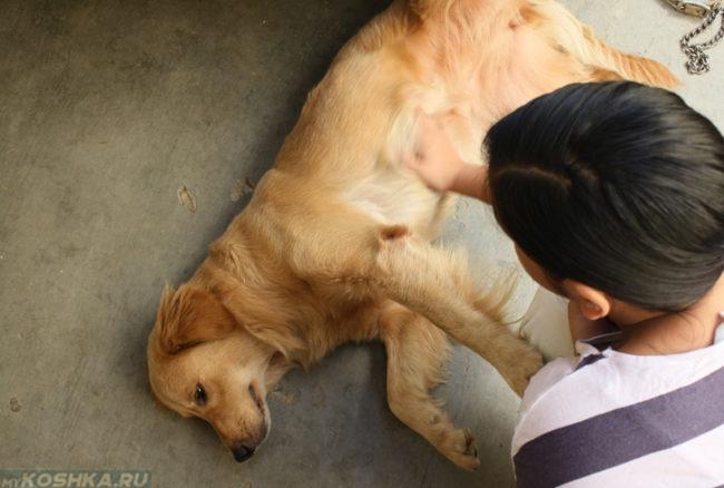 Собака лежащая на боку и человек