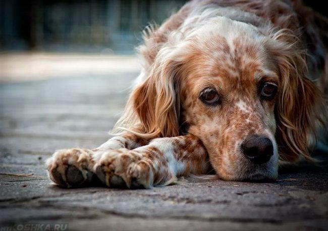 Собака лежащая на асфальте