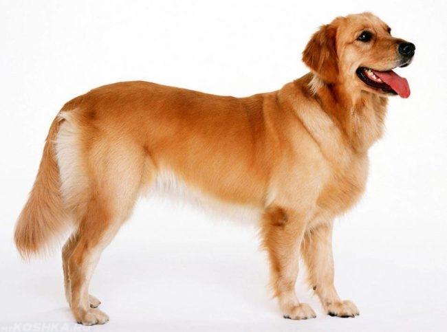 Собака породы лабрадор на белом фоне