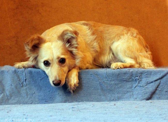 Собака коричневого окраса