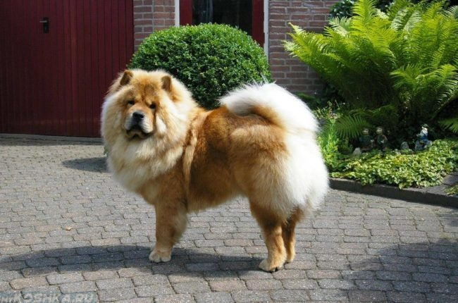 Пушистый пёс стоящий у дома