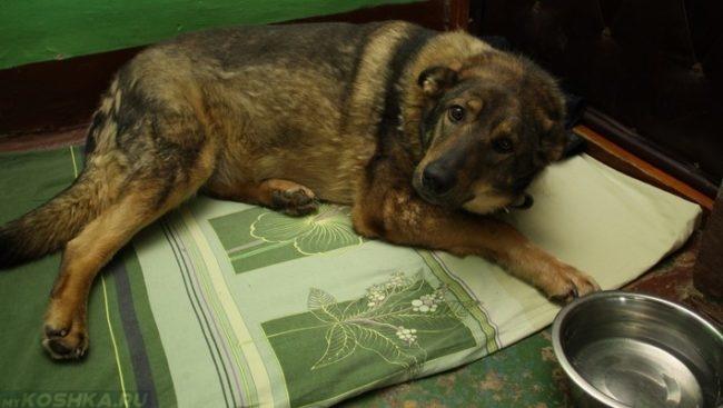 Собака лежащая у двери на коврике