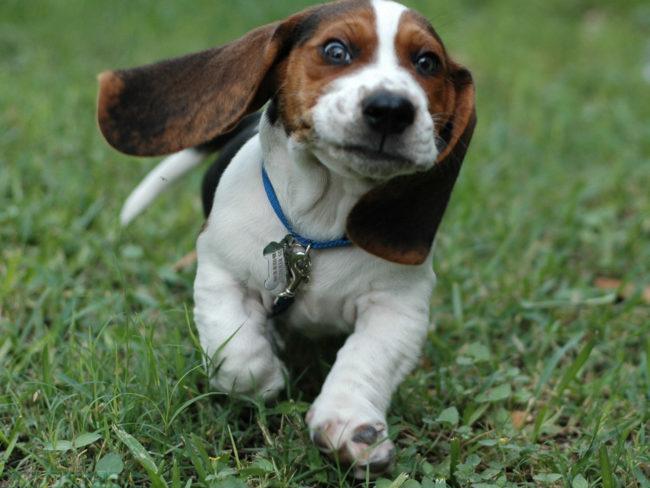 Собака бегущая по зелёной траве