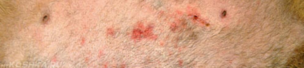 Болячки на коже у собаки