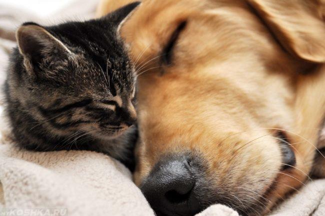 Собака и котёнок спящие вместе
