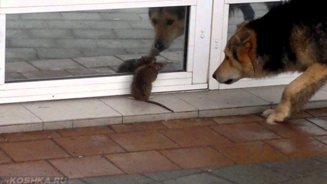 Крыса и собака на улице летом