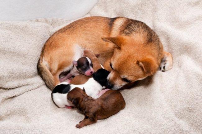 Собака родившая щенков на белом покрывале