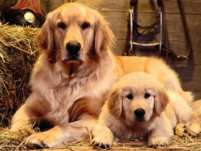 Рыжая собака с маленьким щенком