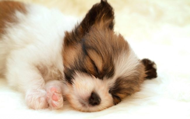 Спящая собака с чёрным носом