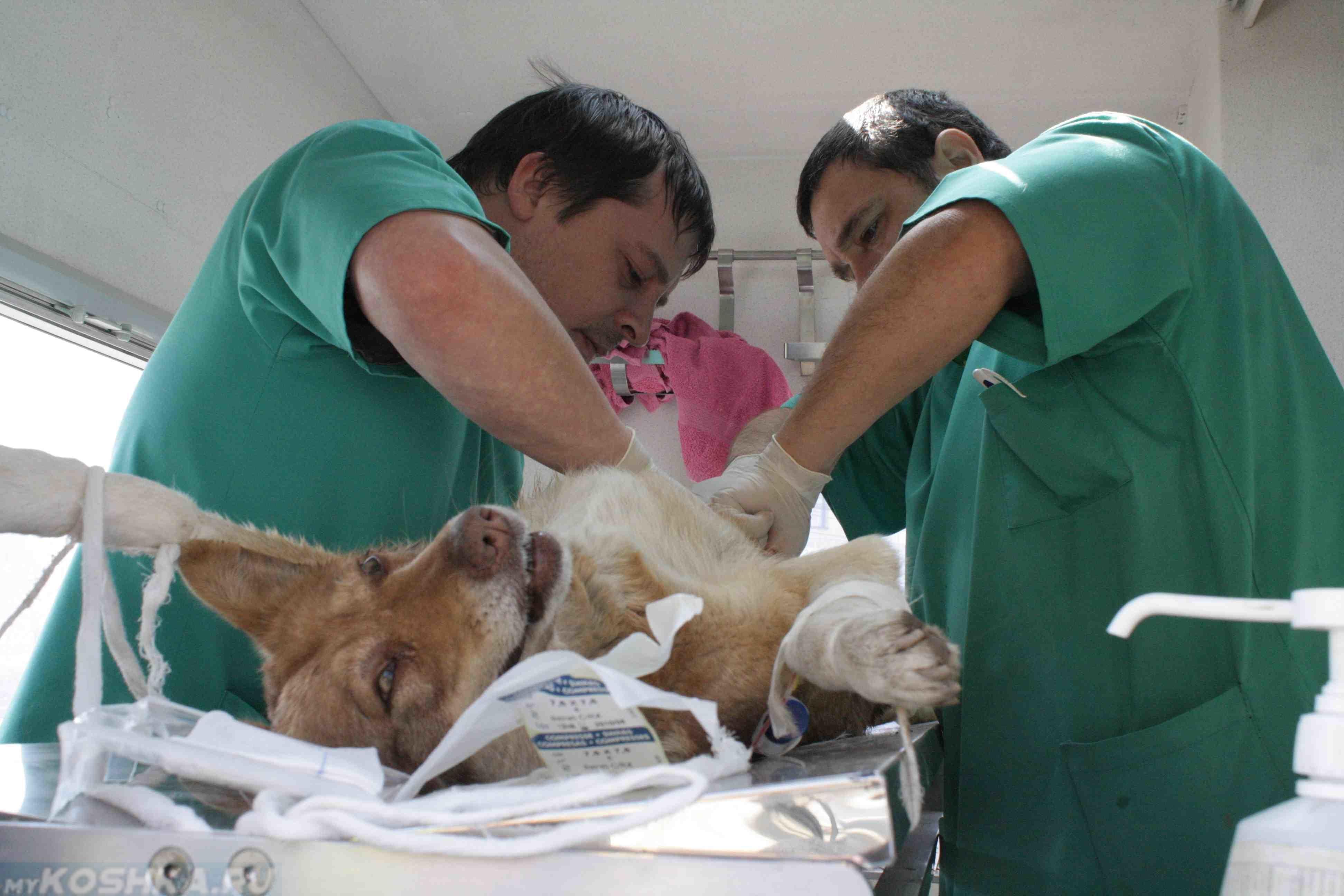 Стерилизация собаки на операционном столе в ветеринарной клинике