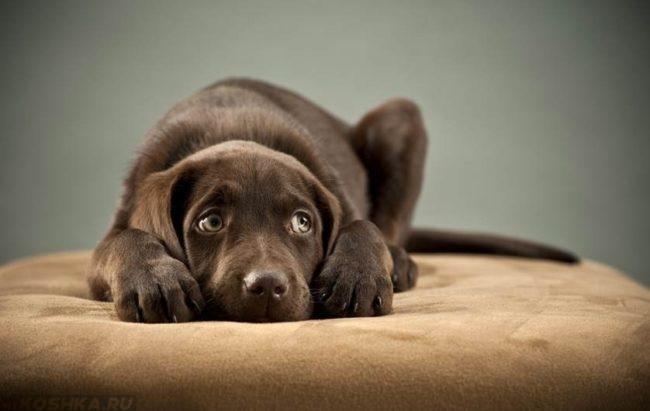 Стресс у собаки лежащей на пуфике
