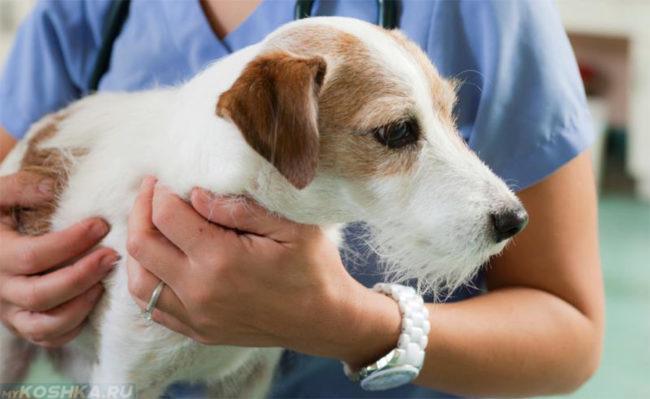 Собака в руках ветеринара