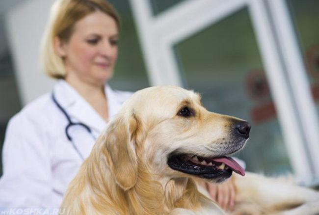 Собака с высунутым языком и врач