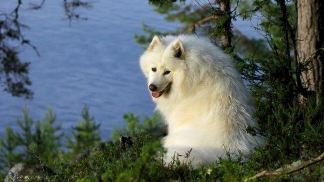 Белая собака сидящая у водоёма