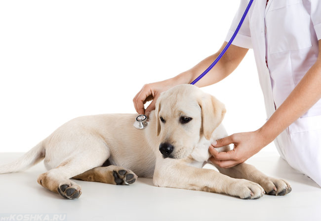 Собака светлого окраса у ветеринара