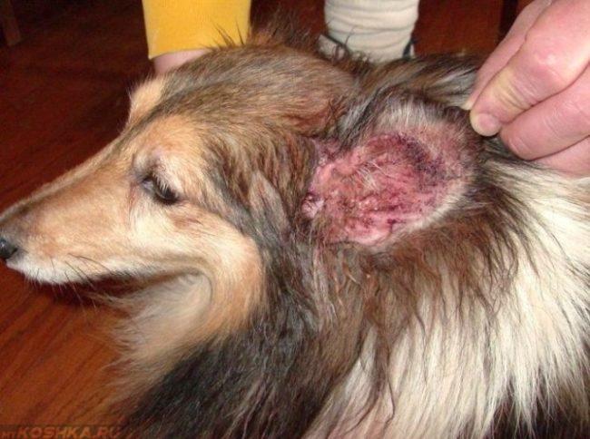 Ушная чесотка у длинношёрстной собаки