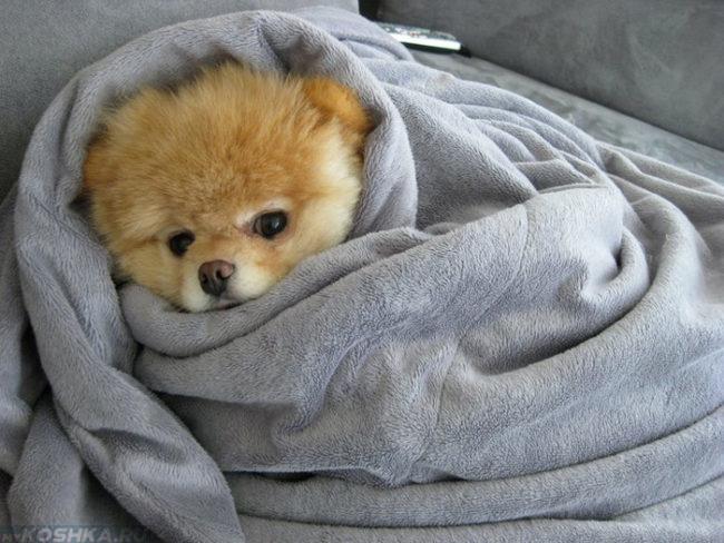 Собака завёрнутая в одеяло