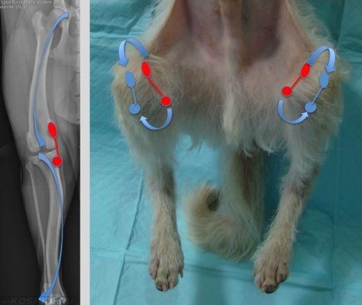 Вывих коленной чашечки у собаки