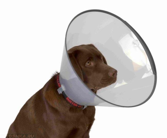 Защитный воротник на собаке