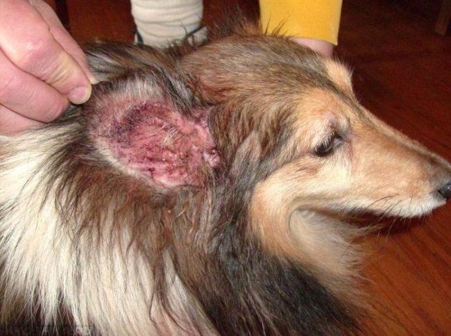 Воспалённые уши у собаки