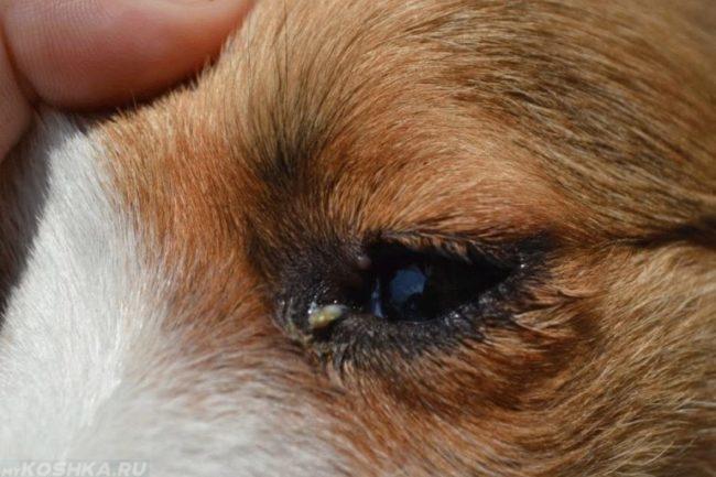 Выделения из глаз собаки