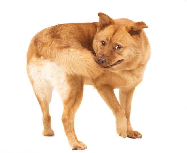 Собака стоящая на белом фоне