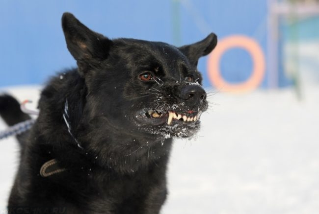 Злая собака с белыми клыками