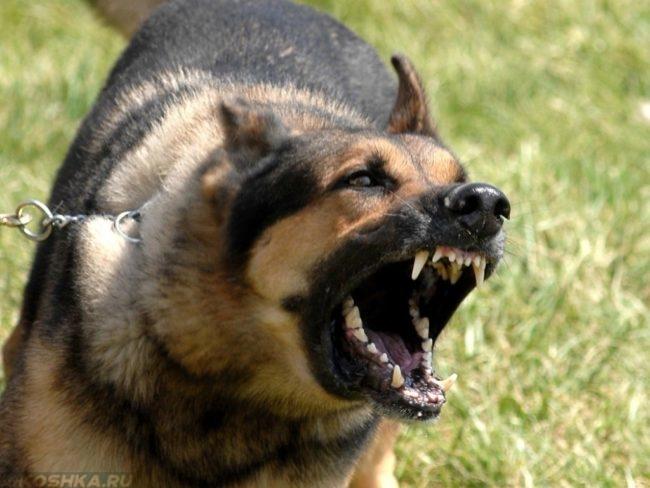 Злая собака на зелёной траве