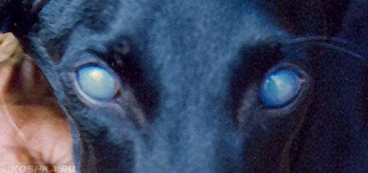 Собака больная аденовирусной инфекцией