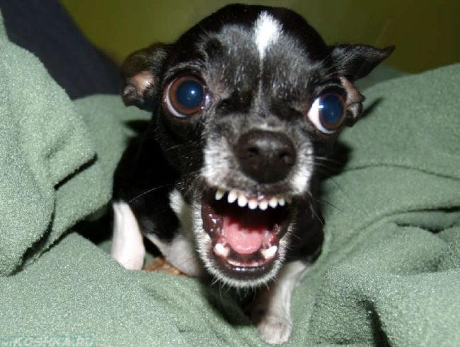 Агрессивная собака на зелёном одеяле