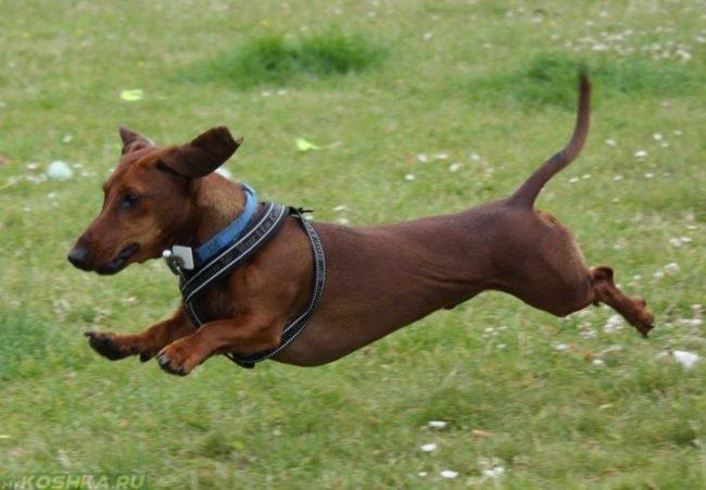 Активная собака бегущая по траве