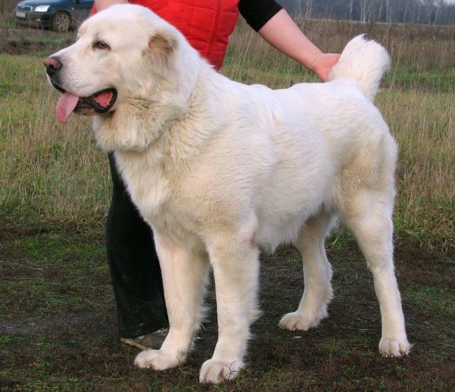 Собака породы алабай одного года