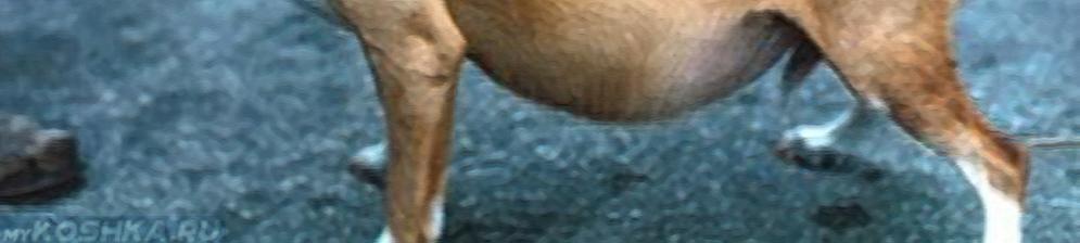 Асцит брюшной полости у собаки